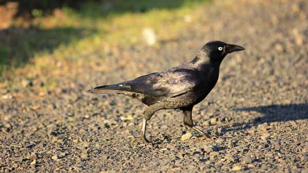 Another sound of Australia: local crows. Singers such you will not find anywhere else