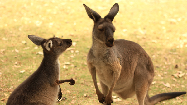 This is the sound bouncing kangaroo on the lawn.