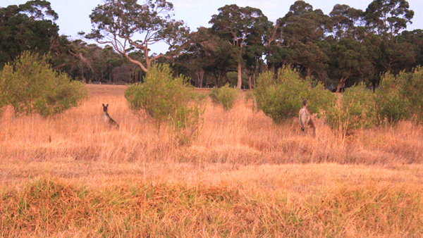 A lot of kangaroos can be seen in the wild.
