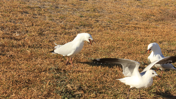 Seagulls fight every time and resent each other, when you give them a piece of bread